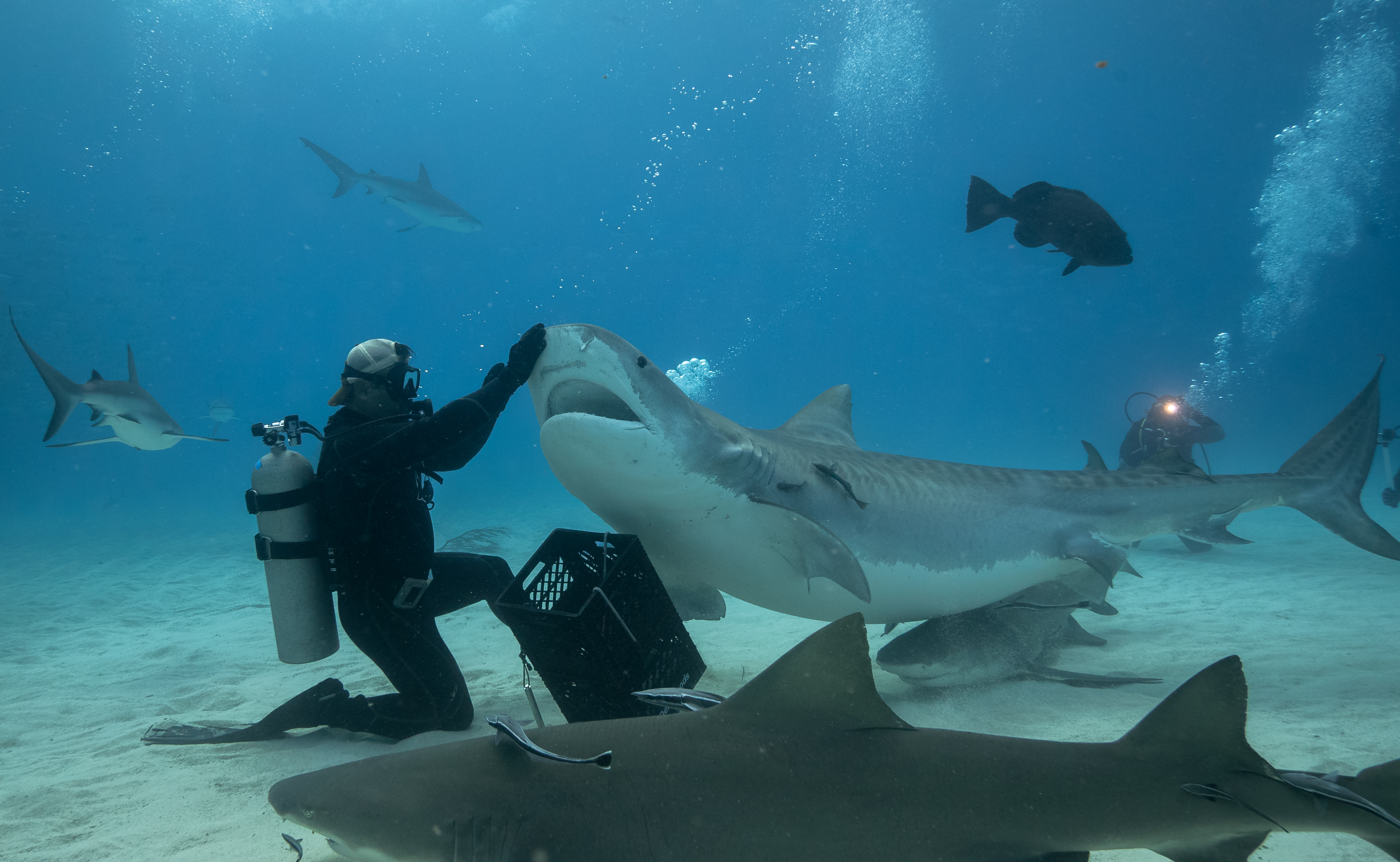 In Photos: Diving with Tiger and Hammerhead Sharks in the