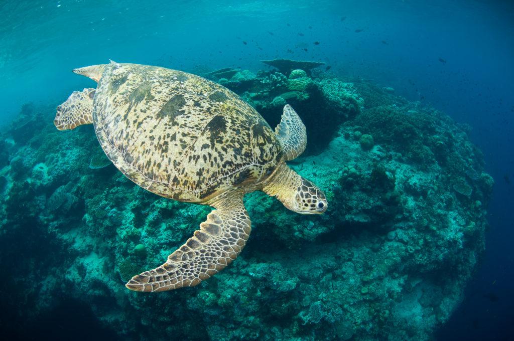 Green turtle swimming above a reef, Pulau Sipadan, Sabah, Malaysia.